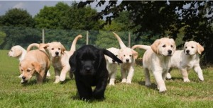 Labrador puppies in field